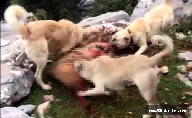 Vicdansızlarçizgili sırtlanı köpeklere parçalattı