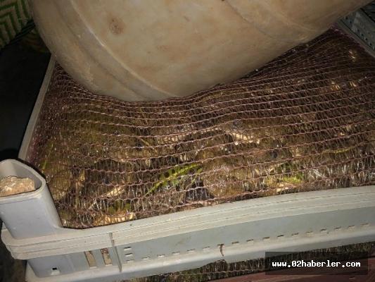 Adıyaman'da torba torba canlı kurbağa ele geçirildi