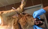 Hasta Köpeğe Tıbbi Müdahale