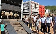Genç çiftçilere 2 bin 142 koyun dağıtıldı