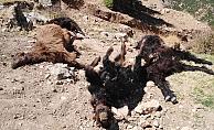 Kurt ahırdaki keçilere saldırdı